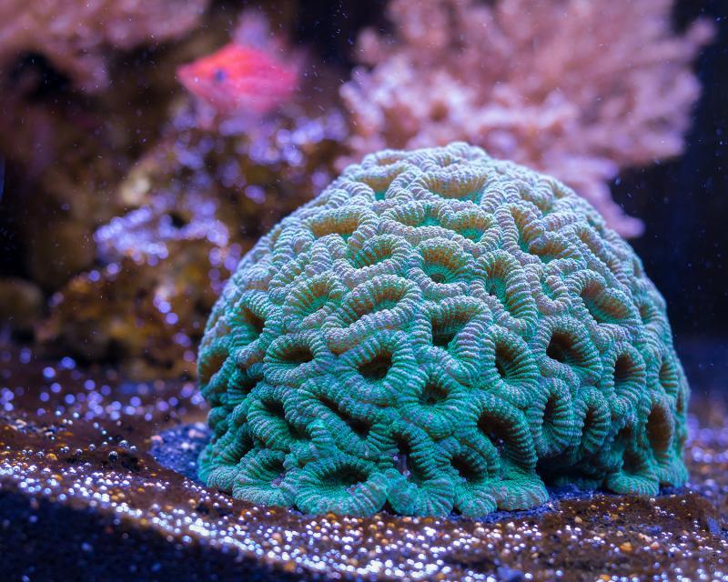 On recense plus de 800 espèces de corail à travers le monde.