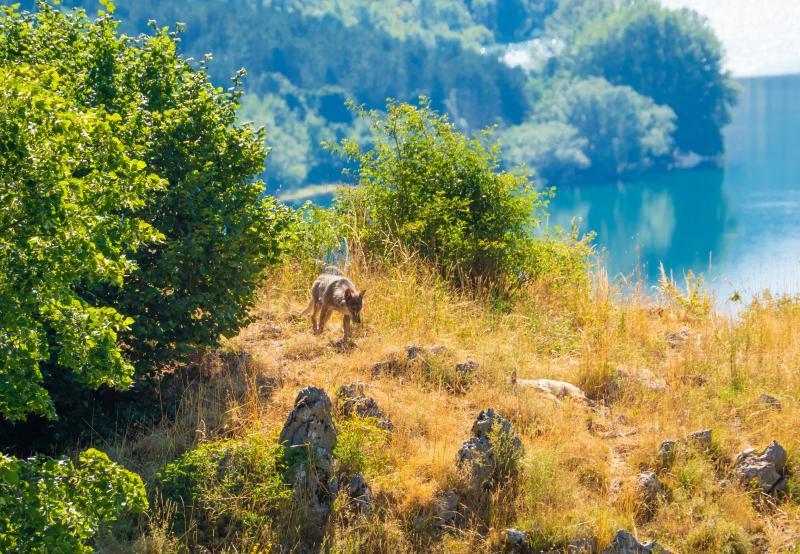 Loups des Abruzzes